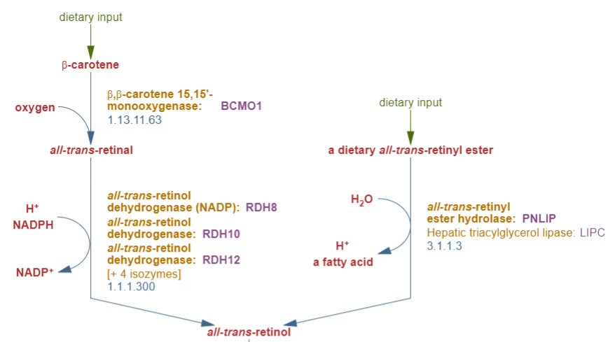 Synthesis of Retinol in Body